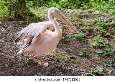 Dalmatian pelican (Pelecanus crispus) stays on ground with unfolded wings  - Shutterstock ID 1747612085