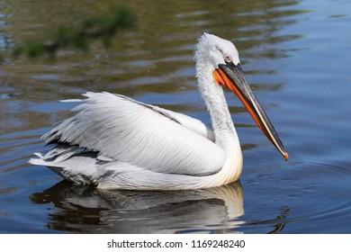 Dalmatian pelican - pelecanus crispus - swimming