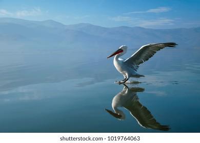 Dalmatian pelican reflection