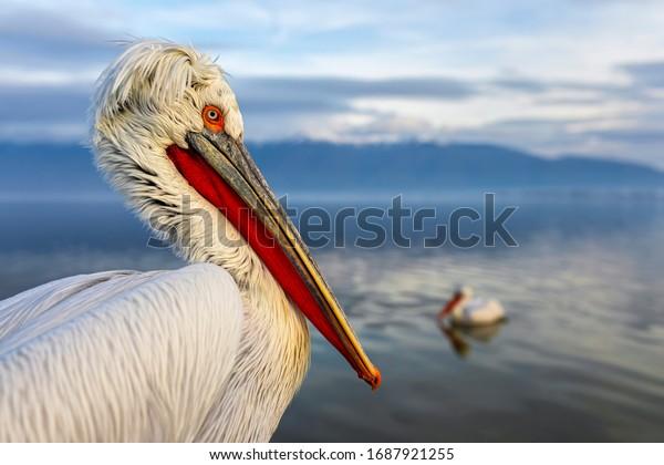 Dalmatian pelican resting on the surface of the Kerkini lake. Pelicans from Kerkini lake, Greece.
