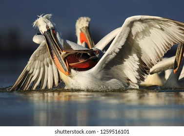 Dalmatian pelicans fight