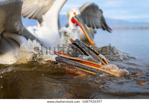 Dalmatian pelicans fighting for the fish. Pelicans from Kerkini lake, Greece.