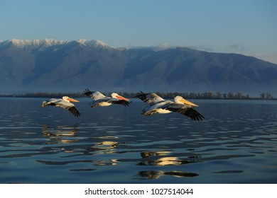 Dalmatian pelicans on lake Kerkini