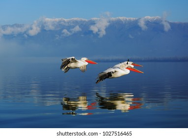 Dalmatian pelicans on lake Kerkini