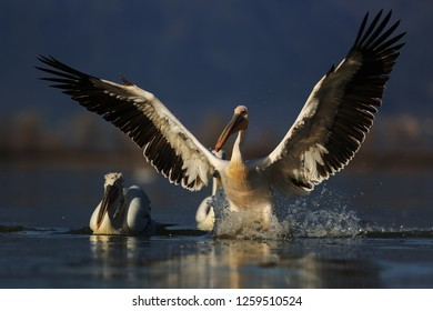 Dalmatian pelicans on surface