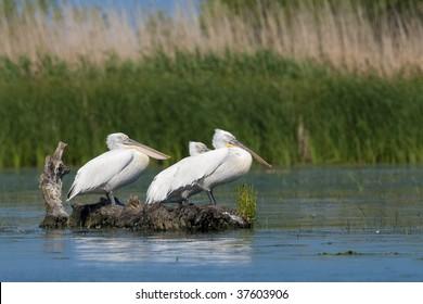 Dalmatian Pelicans (Pelacanus crispus) resting on a log