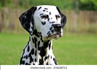 dalmatian portrait in the garden