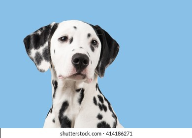 Dalmatian portrait looking to the right on a blue background