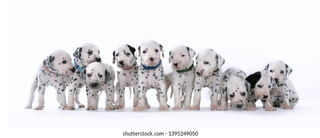 Dalmatian puppies on white background