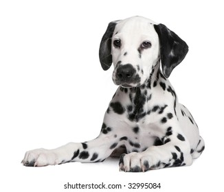 Dalmatian puppy in front of a white background