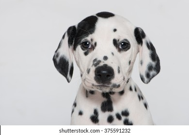Dalmatian puppy isolated on white