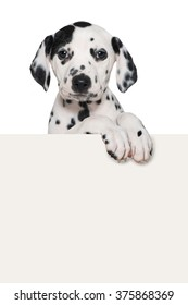 Dalmatian puppy looks over a wall