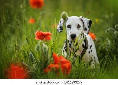 Dalmatian puppy in a poppy flower meadow