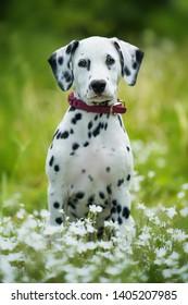 Dalmatian puppy sitting in a flower meadow