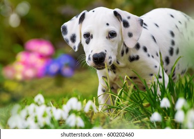 Dalmatian puppy with spring flowers