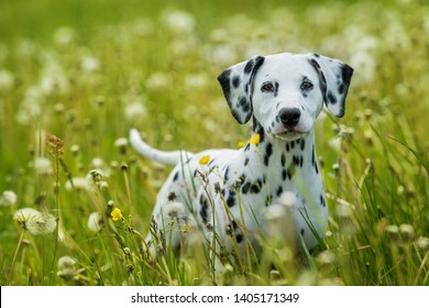 Dalmatian puppy standing in a dandelion meadow