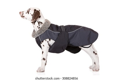 dalmatian puppy in a winter jacket