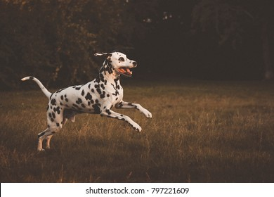Dalmatian run glade