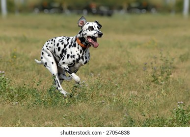 dalmatian to run on a green grass