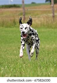 dalmatian is running in the garden
