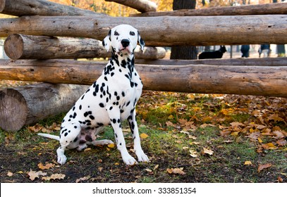 Dalmatian seats near logs.  The Dalmatian is in the country house.
