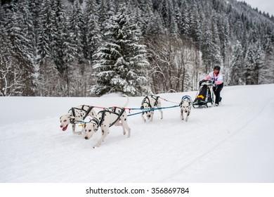 Dalmatian sledding dogs