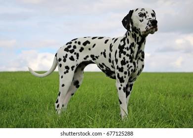 dalmatian is standing in the garden