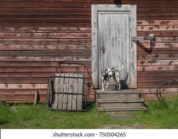 Dalmatian staying on the stairs in front of old wooden house