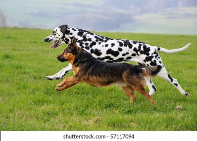 Dalmatian and Terrier Dog run together above the meadow