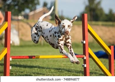 dalmatien dog agility