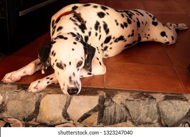 Dalmation dog lying down at the front door, waiting for the owner to come back home