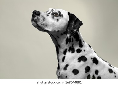 dalmation dog portrait in studio.