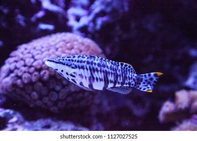 Dalmation molly tropical fish Poecilia latipinna swims across a coral reef.