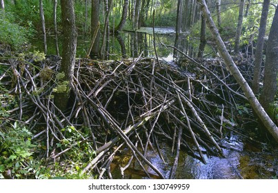 Dam ,built beavers on a wooded the creek