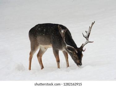 a dama dama deer in the snow