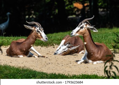 Dama gazelle, Gazella dama mhorr or mhorr gazelle is a species of gazelle. lives in Africa in the Sahara desert and the Sahel and browses on desert shrubs and acacia