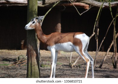 Dama Gazelle (Nanger dama)