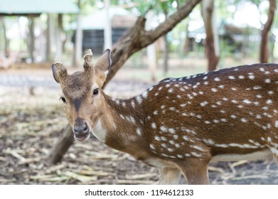 Dama Dama,  with small antlers walking through a dark forest during Fall season. fallow deer ( Dama ) hind looking at camera while grazing on a glade