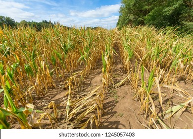 Damage in agriculture with dried corn plants in summer