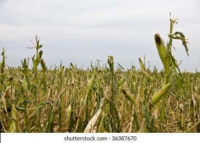 Damage to corn crop