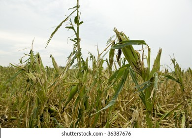 Damage to corn field