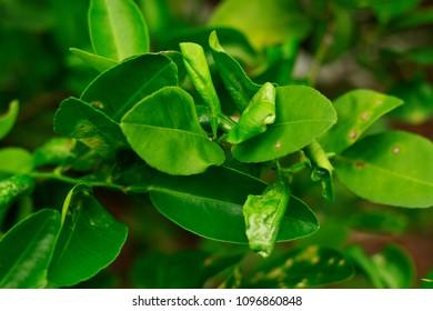 damage marked of citrus leafminer insect pest on lime leaf