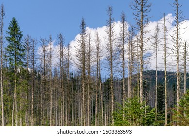 Damage on tree after the European spruce bark beetle (Ips typographus). European spruce bark beetle calamity in Tatra. Spruce bark beetle pest Ips typographus, spruce forests infested drought.