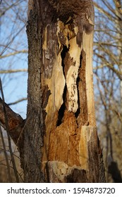Damaged ash tree in the midwest caused by an infestation of the emerald ash borer beetle (Agrilus planipennis)