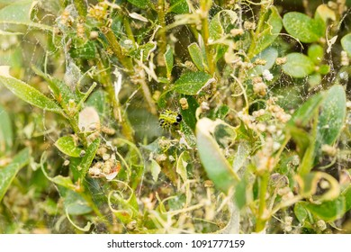 Damaged box tree covered by cobweb caused by box tree moth - Cydalima perspectalis