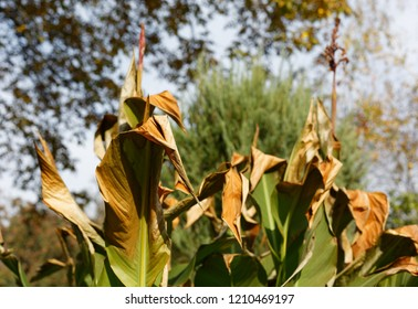 Damaged canna lily  plant leaves by early frost foliage in fall