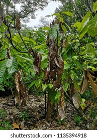 The damaged cocoa fruit is attacked by diseases and pests
