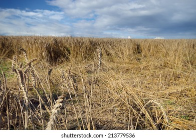 Damaged crops wheat made by wild boars. Field with lying wheat, loss in harvest.