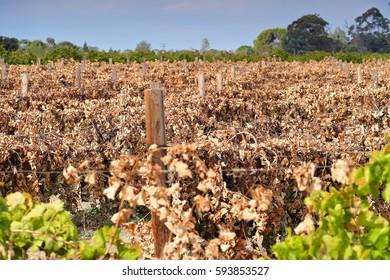Damaged and Dead grape vines in vineyard. Filmed Mildura, Victoria.