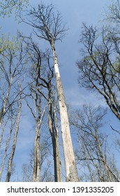 Damaged elm trees by dutch elm disease in a bright swedish forest